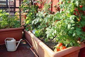 Datura : une famille s'intoxique après avoir cultivé et mangé cette plante toxique