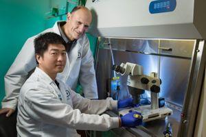 Des chercheurs créent des embryons mixtes porc-humain