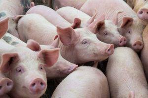 Le G4, un virus de grippe porcine bientôt à l'origine d'une nouvelle pandémie ?