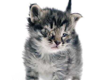 Conjonctivite du chat