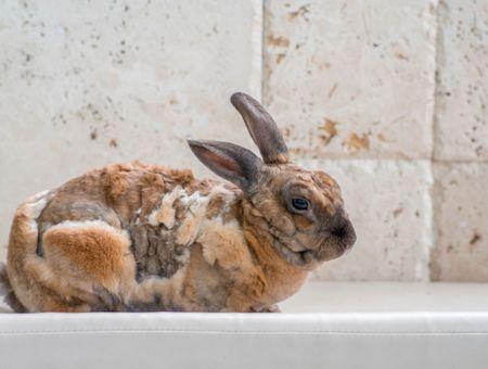 Les parasites externes du lapin