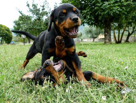 Quelles sont les races de chiens les plus populaires dans le monde ?