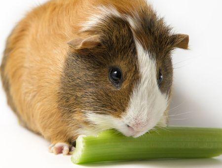 Alimentation et soins de mon cochon d'Inde