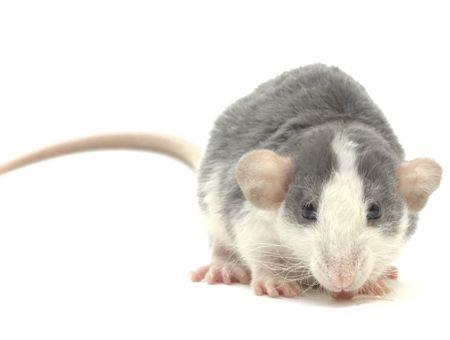 Hydrater un rat: les bonnes méthodes