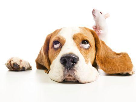 Rats domestiques: quelles sont les cohabitations possibles?