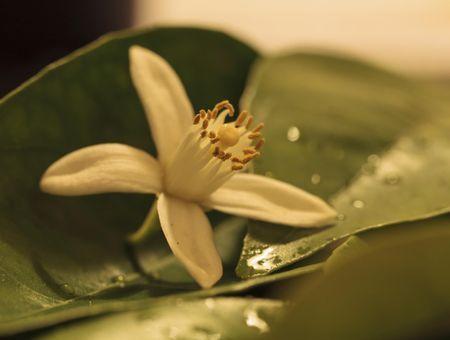 L'eau florale de fleur d'oranger, pour la peau et les cheveux