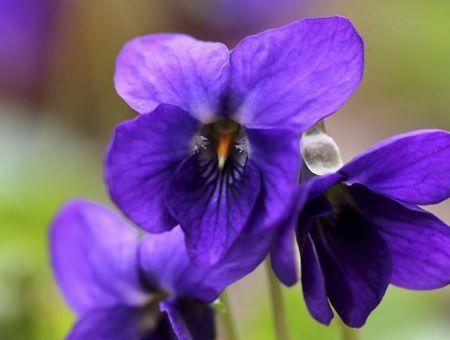 Huile essentielle de violette