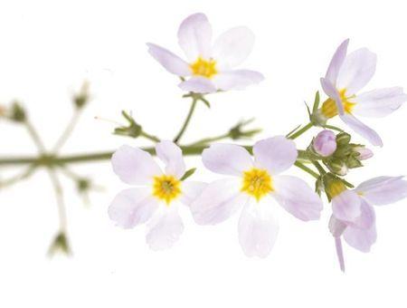 Water Violet (Violette d'eau)