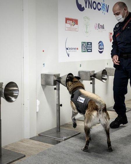 Des chiens formés pour traquer le Covid avec la sueur humaine