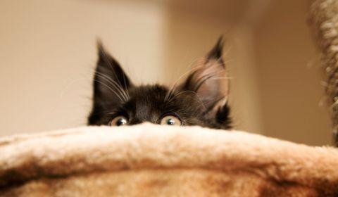 peur du chat