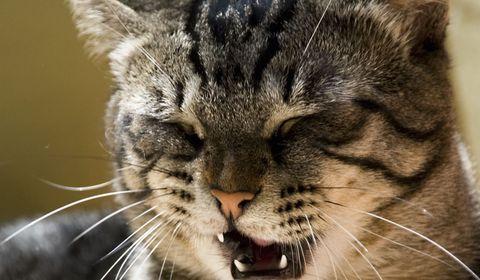toux chez le chat
