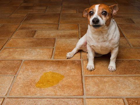 Insuffisance rénale du chien