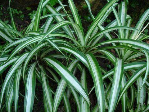 La plante araignée - Les plantes dépolluantes