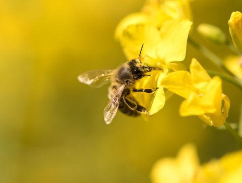 Piqûre d'abeille : gare aux allergies !