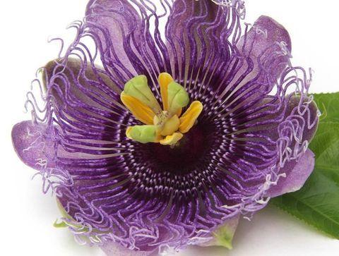Une tisane de passiflore (Passiflora incarnata)  - 10 remèdes naturels utiles en période d'examens