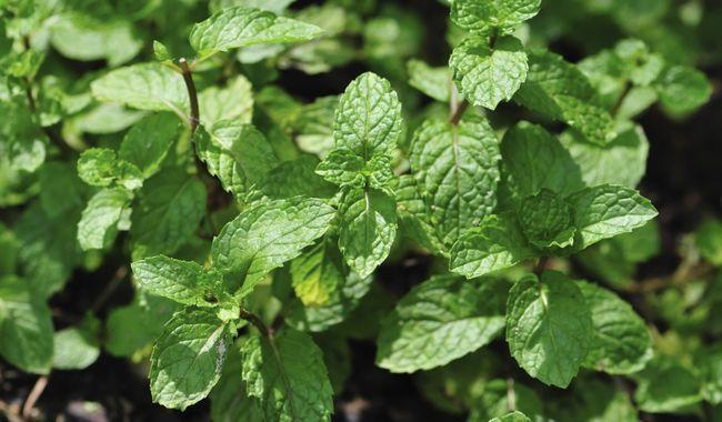 Huile essentielle menthe poivrée huiles essentielles anti-moustiques