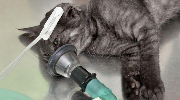 anesthésie pour chat