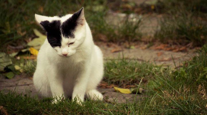 troubles urinaires du chat