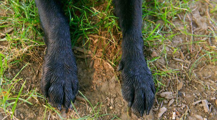 arthrose du chien