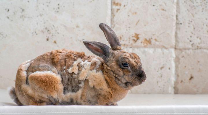 parasites externes du lapin