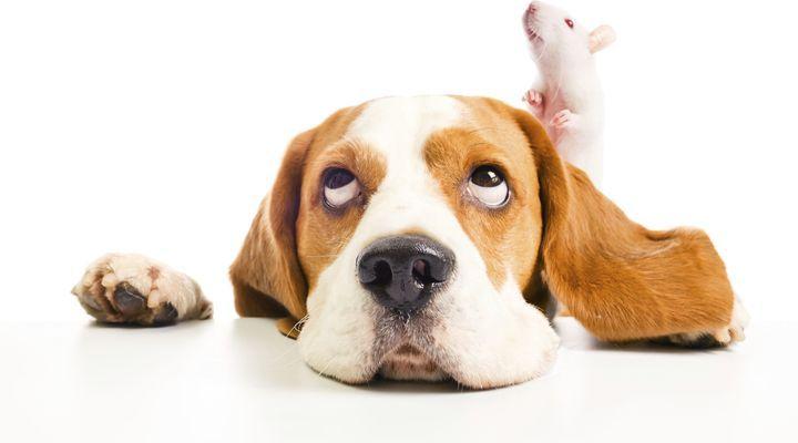 rats domestiques et cohabitation