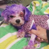 Arrêtez les colorations capillaires sur les chiens !