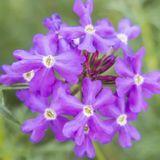 Eau florale de verveine