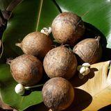 L'huile de tamanu, contre les problèmes de peau
