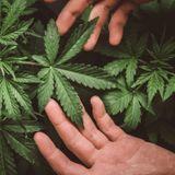 Allergie au cannabis