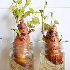 Les pommes de terre deviennent bizarres !