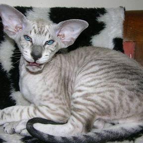 Chat moche tigré
